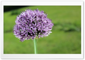 Allium Flower HD Wide Wallpaper for 4K UHD Widescreen desktop & smartphone