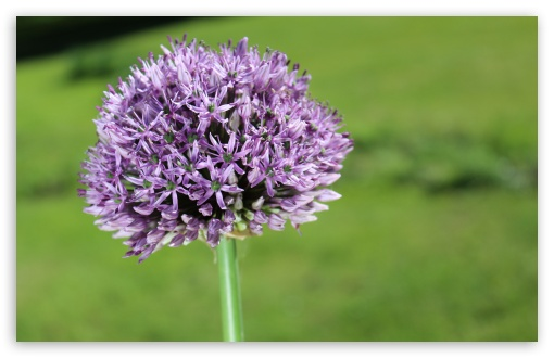Allium Flower ❤ 4K UHD Wallpaper for Wide 16:10 5:3 Widescreen WHXGA WQXGA WUXGA WXGA WGA ; 4K UHD 16:9 Ultra High Definition 2160p 1440p 1080p 900p 720p ; UHD 16:9 2160p 1440p 1080p 900p 720p ; Standard 4:3 5:4 3:2 Fullscreen UXGA XGA SVGA QSXGA SXGA DVGA HVGA HQVGA ( Apple PowerBook G4 iPhone 4 3G 3GS iPod Touch ) ; Smartphone 5:3 WGA ; Tablet 1:1 ; iPad 1/2/Mini ; Mobile 4:3 5:3 3:2 16:9 5:4 - UXGA XGA SVGA WGA DVGA HVGA HQVGA ( Apple PowerBook G4 iPhone 4 3G 3GS iPod Touch ) 2160p 1440p 1080p 900p 720p QSXGA SXGA ;