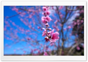 Almond Bloom HD Wide Wallpaper for Widescreen