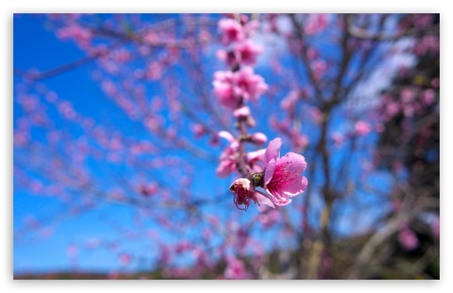 Almond Bloom HD wallpaper for Wide 16:10 5:3 Widescreen WHXGA WQXGA WUXGA WXGA WGA ; HD 16:9 High Definition WQHD QWXGA 1080p 900p 720p QHD nHD ; Standard 4:3 5:4 3:2 Fullscreen UXGA XGA SVGA QSXGA SXGA DVGA HVGA HQVGA devices ( Apple PowerBook G4 iPhone 4 3G 3GS iPod Touch ) ; Tablet 1:1 ; iPad 1/2/Mini ; Mobile 4:3 5:3 3:2 16:9 5:4 - UXGA XGA SVGA WGA DVGA HVGA HQVGA devices ( Apple PowerBook G4 iPhone 4 3G 3GS iPod Touch ) WQHD QWXGA 1080p 900p 720p QHD nHD QSXGA SXGA ;