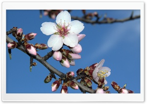 Almond Blossom HD Wide Wallpaper for Widescreen