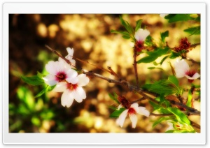 Almond Blossom Borujerd HD Wide Wallpaper for Widescreen