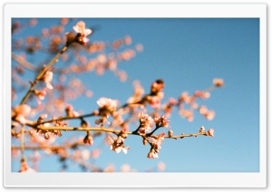 Almond Blossoms HD Wide Wallpaper for Widescreen