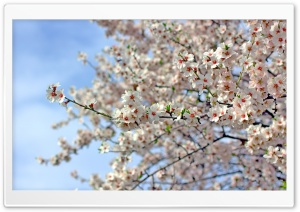Almond Blossoms HD Wide Wallpaper for 4K UHD Widescreen desktop & smartphone