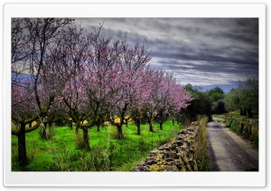 Almond Orchard HDR HD Wide Wallpaper for Widescreen