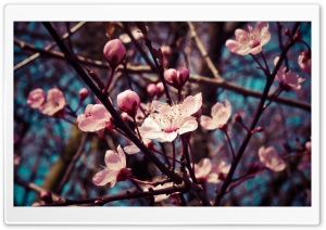 Almond Tree Blossom HD Wide Wallpaper for 4K UHD Widescreen desktop & smartphone