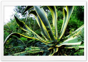 Aloe HD Wide Wallpaper for Widescreen