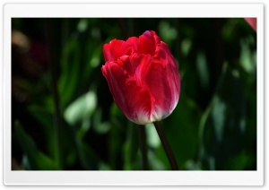 Alone Tulip HD Wide Wallpaper for Widescreen