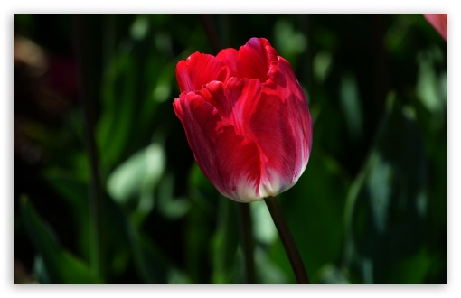Alone Tulip ❤ 4K UHD Wallpaper for Wide 16:10 5:3 Widescreen WHXGA WQXGA WUXGA WXGA WGA ; 4K UHD 16:9 Ultra High Definition 2160p 1440p 1080p 900p 720p ; Standard 4:3 5:4 3:2 Fullscreen UXGA XGA SVGA QSXGA SXGA DVGA HVGA HQVGA ( Apple PowerBook G4 iPhone 4 3G 3GS iPod Touch ) ; Smartphone 5:3 WGA ; Tablet 1:1 ; iPad 1/2/Mini ; Mobile 4:3 5:3 3:2 16:9 5:4 - UXGA XGA SVGA WGA DVGA HVGA HQVGA ( Apple PowerBook G4 iPhone 4 3G 3GS iPod Touch ) 2160p 1440p 1080p 900p 720p QSXGA SXGA ;