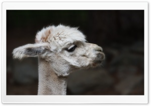 Alpaca Sheared HD Wide Wallpaper for Widescreen