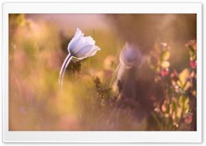 Alpine Anemone Flower Depth...
