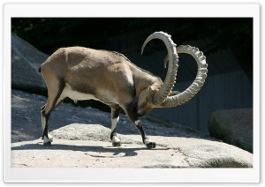 Alpine Ibex HD Wide Wallpaper for 4K UHD Widescreen desktop & smartphone