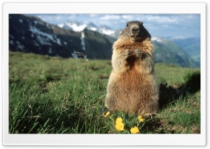 Alpine Marmot Hohe Tauern National Park Austria HD Wide Wallpaper for Widescreen
