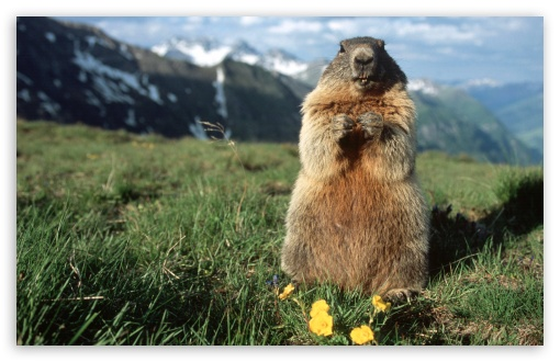 Download Alpine Marmot Hohe Tauern National Park Austria UltraHD Wallpaper
