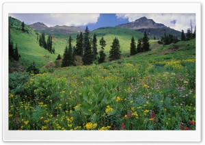 Alpine Meadow Of Sneezeweed Colorado HD Wide Wallpaper for 4K UHD Widescreen desktop & smartphone