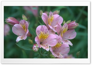 Alstroemeria HD Wide Wallpaper for 4K UHD Widescreen desktop & smartphone