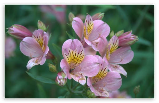 Alstroemeria ❤ 4K UHD Wallpaper for Wide 16:10 5:3 Widescreen WHXGA WQXGA WUXGA WXGA WGA ; 4K UHD 16:9 Ultra High Definition 2160p 1440p 1080p 900p 720p ; Standard 4:3 5:4 3:2 Fullscreen UXGA XGA SVGA QSXGA SXGA DVGA HVGA HQVGA ( Apple PowerBook G4 iPhone 4 3G 3GS iPod Touch ) ; iPad 1/2/Mini ; Mobile 4:3 5:3 3:2 16:9 5:4 - UXGA XGA SVGA WGA DVGA HVGA HQVGA ( Apple PowerBook G4 iPhone 4 3G 3GS iPod Touch ) 2160p 1440p 1080p 900p 720p QSXGA SXGA ;