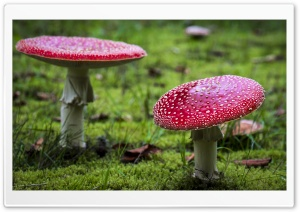 Amanita Muscaria Fly Agaric Mushrooms HD Wide Wallpaper for 4K UHD Widescreen desktop & smartphone