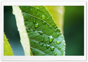 Amazing Leaf HD Wide Wallpaper for Widescreen