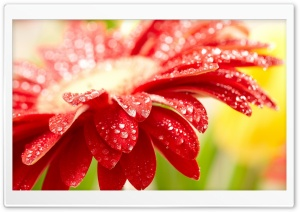 Amazing Red Flower HD Wide Wallpaper for Widescreen