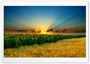 Amazing Sunflowers HD Wide Wallpaper for Widescreen