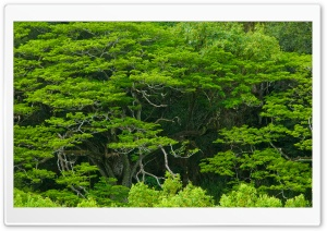 Amazing Trees, Waimea Valley, Hawaii HD Wide Wallpaper for Widescreen