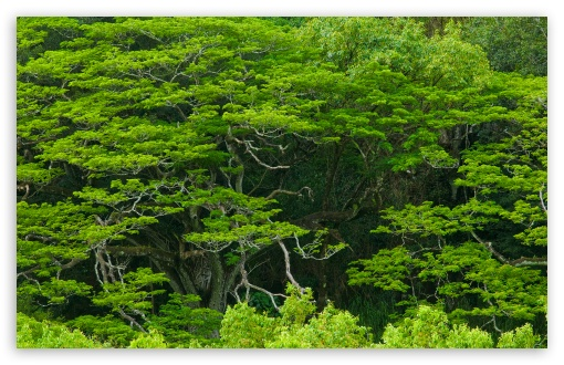 Amazing Trees, Waimea Valley, Hawaii ❤ 4K UHD Wallpaper for Wide 16:10 5:3 Widescreen WHXGA WQXGA WUXGA WXGA WGA ; 4K UHD 16:9 Ultra High Definition 2160p 1440p 1080p 900p 720p ; Standard 4:3 5:4 3:2 Fullscreen UXGA XGA SVGA QSXGA SXGA DVGA HVGA HQVGA ( Apple PowerBook G4 iPhone 4 3G 3GS iPod Touch ) ; Tablet 1:1 ; iPad 1/2/Mini ; Mobile 4:3 5:3 3:2 16:9 5:4 - UXGA XGA SVGA WGA DVGA HVGA HQVGA ( Apple PowerBook G4 iPhone 4 3G 3GS iPod Touch ) 2160p 1440p 1080p 900p 720p QSXGA SXGA ; Dual 16:10 5:3 16:9 4:3 5:4 WHXGA WQXGA WUXGA WXGA WGA 2160p 1440p 1080p 900p 720p UXGA XGA SVGA QSXGA SXGA ;