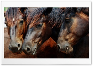 Amazing Wild Horses HD Wide Wallpaper for Widescreen