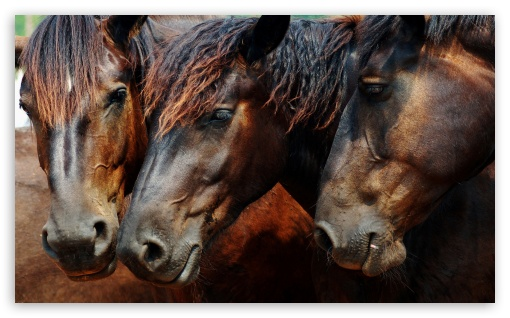 Amazing Wild Horses HD wallpaper for Wide 5:3 Widescreen WGA ; HD 16:9 High Definition WQHD QWXGA 1080p 900p 720p QHD nHD ; Mobile 5:3 16:9 - WGA WQHD QWXGA 1080p 900p 720p QHD nHD ;