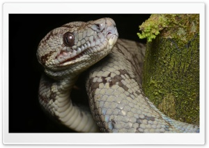 Amazon Tree Boa HD Wide Wallpaper for Widescreen