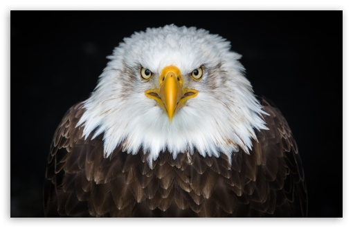 american bald eagle wallpapers