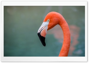 American Flamingo bird HD Wide Wallpaper for Widescreen