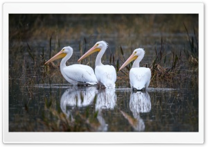 American White Pelicans Pelecanus erythrorhynchos Birds Ultra HD Wallpaper for 4K UHD Widescreen desktop, tablet & smartphone