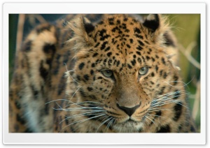 Amur Leopard HD Wide Wallpaper for Widescreen
