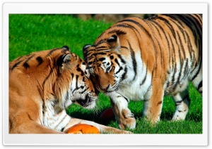 Amur Tigers HD Wide Wallpaper for Widescreen