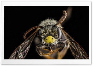 Andrena Banksi Bee Macro HD Wide Wallpaper for 4K UHD Widescreen desktop & smartphone