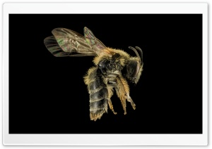 Andrena Cornelli Mining Bee HD Wide Wallpaper for Widescreen