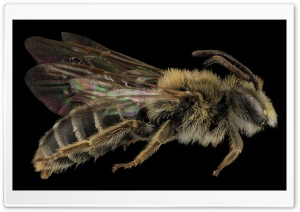 Andrena Cragini Bee Macro Photography HD Wide Wallpaper for Widescreen