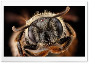 Andrena Fragilis Bee Head Macro HD Wide Wallpaper for 4K UHD Widescreen desktop & smartphone
