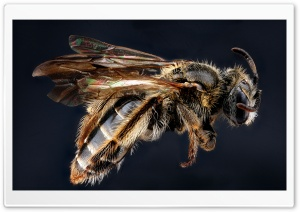 Andrena Fragilis Bee Macro HD Wide Wallpaper for 4K UHD Widescreen desktop & smartphone