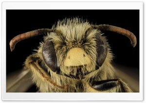 Andrena Gardineri Mining Bee HD Wide Wallpaper for Widescreen