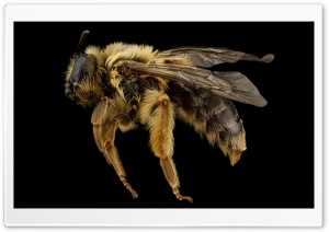 Andrena Helianthi Mining Bee HD Wide Wallpaper for Widescreen