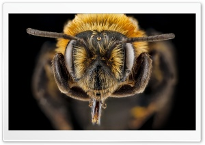 Andrena Lupinorum Bee Macro Photography HD Wide Wallpaper for 4K UHD Widescreen desktop & smartphone
