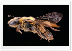 Andrena Nigrihirta Bee Macro Ultra HD Wallpaper for 4K UHD Widescreen desktop, tablet & smartphone