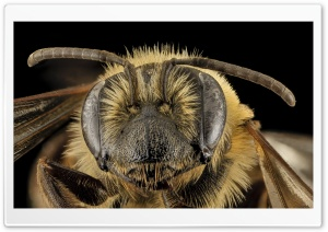 Andrena Nivalis Mining Bee Head Macro HD Wide Wallpaper for Widescreen