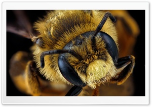 Andrena Rudbeckiae Bee Macro Photography HD Wide Wallpaper for Widescreen