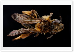 Andrena, The Mining Bee HD Wide Wallpaper for 4K UHD Widescreen desktop & smartphone