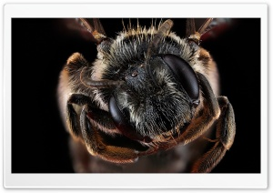 Andrena Virginiana Bee Macro Photography HD Wide Wallpaper for 4K UHD Widescreen desktop & smartphone