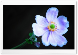 Anemone Flower Ultra HD Wallpaper for 4K UHD Widescreen desktop, tablet & smartphone