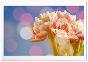 Angelique Tulips HD Wide Wallpaper for Widescreen